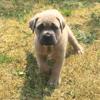 Nala, chien Cane Corso