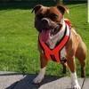 Nala, chien Staffordshire Bull Terrier