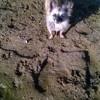 Namour, chien Chihuahua