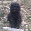 Nana, chien Puli
