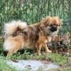 Nanji Des Tibétains Du Soleil, chien Épagneul tibétain