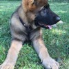 Narco, chien Berger allemand