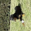 Nash, chien Beauceron