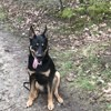 Natsu, chien Beauceron