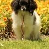 Naughty, chien Épagneul nain continental