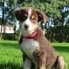 Naya, chien Berger australien
