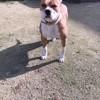 Naya, chien Bulldog