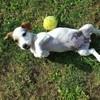 Naya, chien Jack Russell Terrier