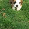 Nayah, chien Boxer