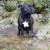 Nayko, chien Staffordshire Bull Terrier