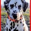 Necko, chien Dalmatien