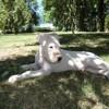 Neiko, chien Dogue argentin