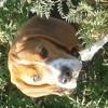 Nelko, chien Beagle