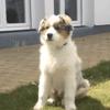 Nell, chien Berger australien