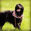 Nelson, chien Golden Retriever