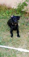 Nera, chien Labrador Retriever