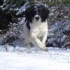 Nesco, chien Springer anglais