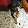 Nesquik, chien Beauceron