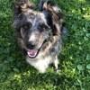 Nessy, chien Border Collie