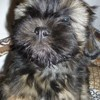 Nestor, chien Lhassa Apso