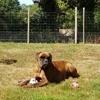 Neverland De L Ultyme Schark, chien Boxer