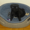 Newton, chien Carlin