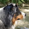 Newton, chien Berger australien