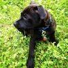 Neyo, chien Staffordshire Bull Terrier