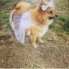 Nicky, chien Spitz allemand