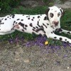 Nike, chien Dalmatien