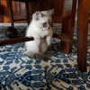 Nimbus, chat Sibérien