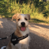 Nino, chien Parson Russell Terrier