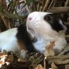 Ninou, rongeur Cochon d'Inde