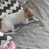 Nissa, chien Chihuahua