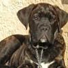 Nitro, chien Cane Corso