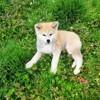 Nobu, chien Akita Inu