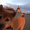 Noky, chien Shiba Inu