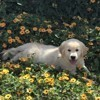 Nooky, chien Golden Retriever