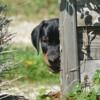 Norman, chien Dobermann