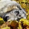 Norway, chien Berger australien