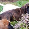 Notchou, chien Boxer
