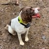 Nouba, chien Welsh Springer Spaniel