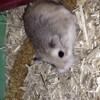 Nougat, rongeur Hamster