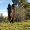 Nourse, chien Berger belge