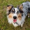Noutch, chien Berger des Shetland