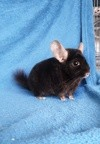 Nox, rongeur Chinchilla