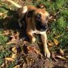 Nuage, chien Dogue de Majorque