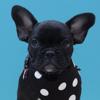 Nuggets, chien Bulldog