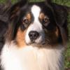 Nute, chien Berger australien