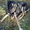Nyalha, chien Beauceron